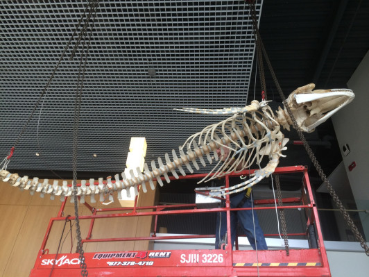 Suspension cables are attached to the whale skeleton.
