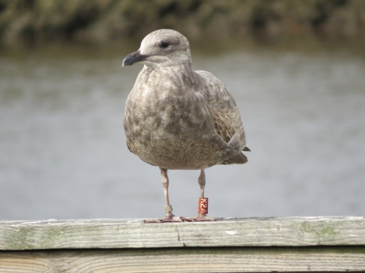 This seagull was banded by COA students on Maine's Great Duck Island during the summer of 2015 and showed up six months later in Mississippi.