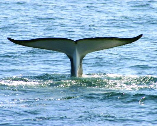 Fluking Fin Whale.