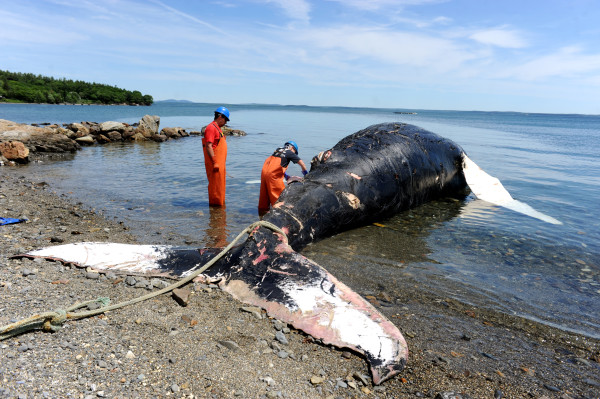 "Spinnaker, an 11-year-old humpback whale who died, was brought to shore in Hulls Cove for a <a href=""/allied-whale/research/necropsies/"">necropsy</a> to help determine her cause of death."