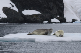 Two crabeater seals on an ice floe.