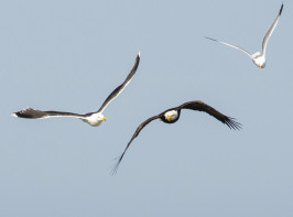 Two gulls—a black-backed (left) and herring (far right) pursue a bald eagle that had come in cl...