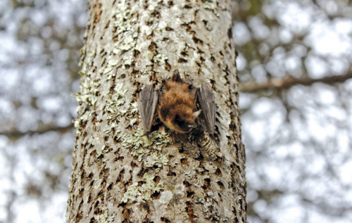 Little brown bat photographed on a spring day in 2012 near COA's Thorndike Library. That the bat was active during the d...