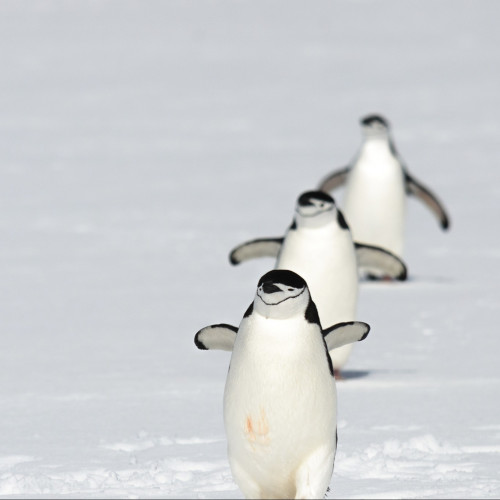 chinstrap penguins returning from the sea