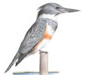 A Natural History Guide to Birds of Mount Desert Island, Maine