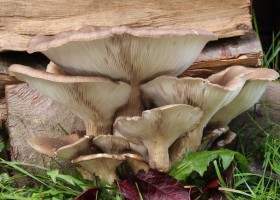 Bioremediation with Mushrooms