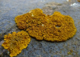 New Species of Lichens in Hawaii