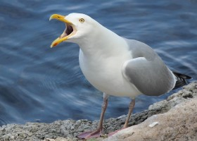 Herring Gull and Greater Black Backed Gull Chick Growth on Great Duck Island