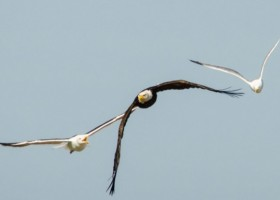 An Examination of Potential Predation threats to the Common Eider at a Mixed Offshore Seabird Colony