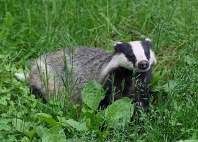Exploring the Efficiency of Badger Culling in Preventing the Spread of Bovine Tuberculosis in the UK