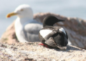 Nest Habitat Overlap Between Large Gulls (Larus sp.) and Black Guillemots (Cepphus grylle)