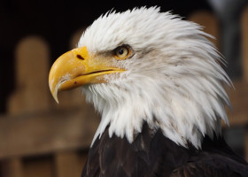The Impact of Bald Eagle Predation on Herring Gull Survivorship in Maine, USA