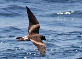 Burrow Distribution and Habitat Parameters in Leach's Storm Petrel