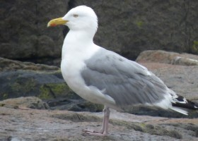 Preferential Utilization of Rocky Coastline Habitat by Herring Gulls