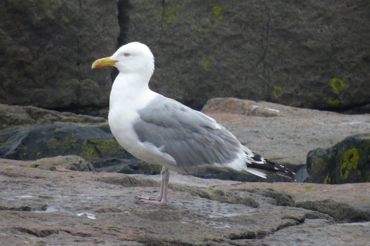 Herring Gull on rocky habitat