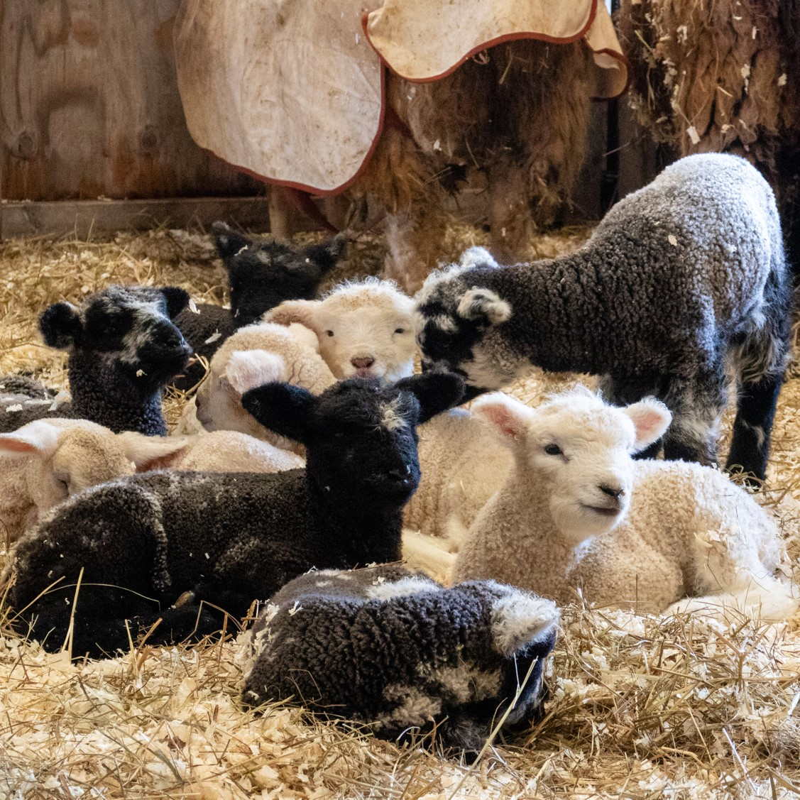 It's lambing season at College of the Atlantic Peggy Rockefeller Farms! Our flocks of Romney and Katahdin sheep are quite productive this spring, with several dozen lambs expected. . . #foodsystems #smallfarms #lamb #lambsofinstagram #lambingseason #farmanimals #animalhusbandry #spring #signsofspring #collegeoftheatlantic #winterterm #farmlife #barharbor #maine #ecology #sustainability #selfdirectededucation #photocred: Yoi Ashida '20