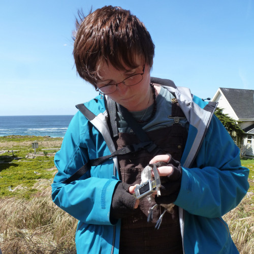 Measuring Cassin's Auklets (Ptychoramphus aleuticus) on Southeast Farallon